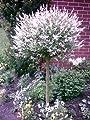 Harlekin Weide, Salix Hakuro Nishiki, Pflanze: 180 cm !