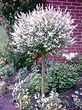 Harlekin Weide, Salix integra Hakuro Nishiki, Pflanze: 170-180 cm + Dünger
