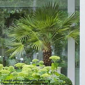 Palmier de Chine - Trachycarpus fortunei pot 5L