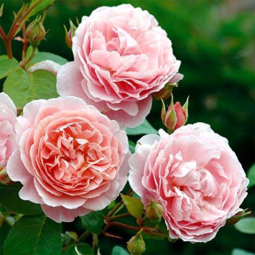 David Austin, Rosenpflanzen, Englische Rose Strawberry Hill, 1 Pflanze,         2,0 L Container, Höhe: ca. 30 - 40 cm, stark duftend