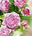 Delbard® Kletterrosen 'Nahéma®', 1 Pflanze von Delbard - Du und dein Garten