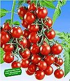 BALDUR-Garten Veredelte Snack-Tomate'Lupitas' F1,2 Pflanzen Tomatenpflanze Snacktomate Naschtomate