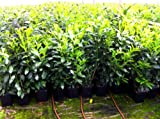 8 Stück Kirschlorbeer Heckenpflanze Novita 80cm