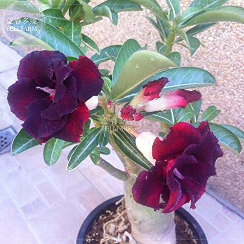 Go Garden BELLFARM & # 39; Black Widow & # 39; Bonsai Adenium Black Flowers 3 capas de flores grandes del desierto color de rosa para el jardín en casa High Germination -2pcs / pack