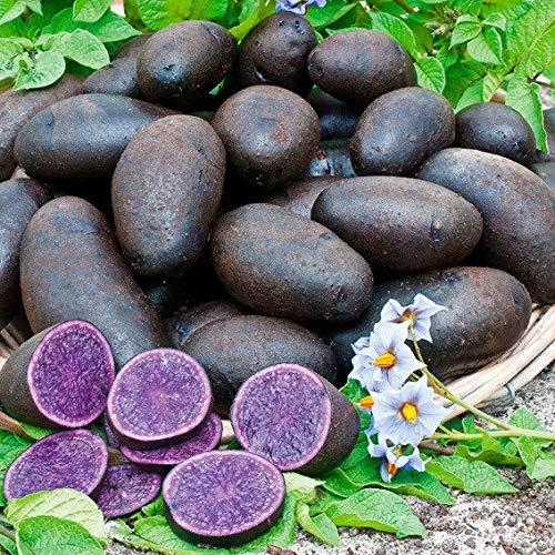 Qulista Samenhaus - 200 Stück Rarität China Bio Blaue Pflanzkartoffel 'Vitelotte®' Samen Gemüse Saatgut französische Trüffelkartoffel mehrjährig winterhart