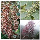 Outdoor Plants Rhus Typhina Seed Evergreen Essigbaum Baum Starke Anpassbarkeit Hirschhorn Sumach Seed 50 Stück blühende Pflanze