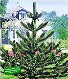 BALDUR-Garten Affenschwanz-Baum, Chilenische Schmucktanne, Affenbaum, Affenschaukel, Andentanne, 1 Pflanze Araucaria