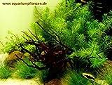 Mühlan - Wasserpflanzensortiment für Nanoaquarium, kleinbleibende Pflanzen, 4 Töpfe + 7 Bund inkl. Dünger