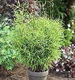 Gartenbambus Bimbo 60-80cm - Fargesia murielae