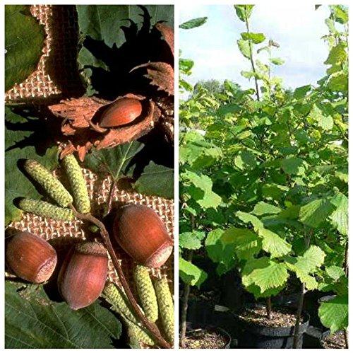 Grüner Garten Shop Nottinghams Fruchtbare, sehr guter Geschmack, dreijähriger Haselnussstrauch ca. 125-150 cm groß