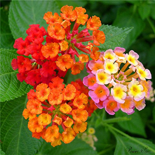 100 pc / sacchetto, semi Lantana, semi in vaso, semi di fiore, varietà completa, l'erba tasso del 95%, (colori misti)