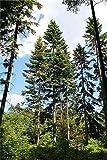 Riesen-Küsten-Tanne (Abies grandis) 30 frische Samen **Der Tannengigant** Winterhart