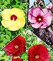 BALDUR-Garten Winterharter Hibiskus-Stauden 'Farb-Mix', 3 Pflanzen Hibiscus Hybride winterhart von Baldur-Garten auf Du und dein Garten