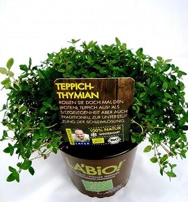 Bio Echter Teppich-Thymian Kräuterpflanze von LÀBiO! Kräuter - Du und dein Garten