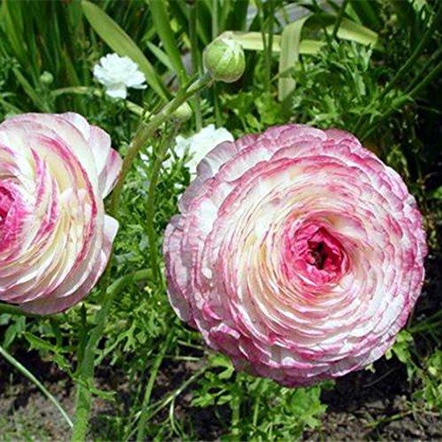 Wekold Persische Butterblume - 10 Samen Ranunculus Asiaticus Blumensamen Bonsai Persian Buttercup Seeds Garten - Persischen Garten Blumen