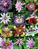 Portal Cool Blütepassi Mix Passionsfrucht Exotische Essbare tropische Kletterpflanze Samen 15 Samen