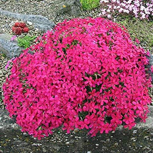 aimado sementi giardino - 100pcs raro erba pignola piante perenni flox semi sementi fiori giardino tappezzante sempreverde resistenza al freddo perenne per i giardini rocciosi/vasi/fioriere