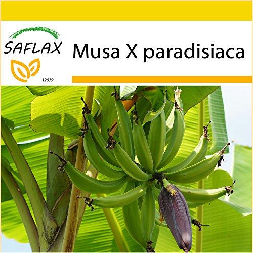 SAFLAX - Anzucht Set - Große Essbanane - 10 Samen - Musa X paradisiaca
