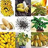 ASTONISH: 0Dee F3B5 100 Stücke Kostbare Seltene Zwerg Bananenbaum Bonsai Samen Exotische Hausgarten