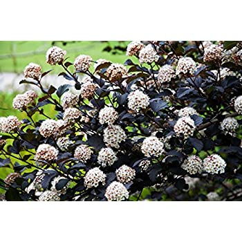 rotbl ttrige blasenspiere 100 125cm physocarpus. Black Bedroom Furniture Sets. Home Design Ideas