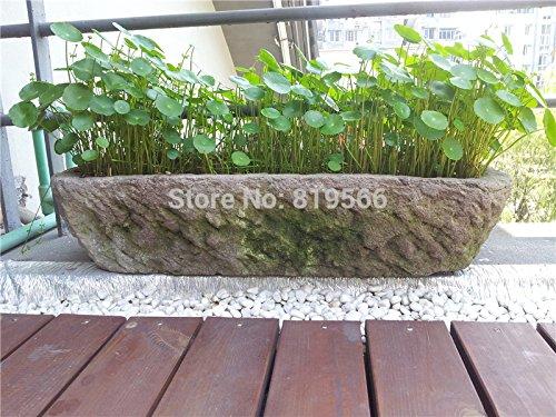 Hydrocotyle vulgaris Semences de l'herbe verte jardin extérieur Coins Plantes d'intérieur bonsaï cour maison de l'eau 60 SEMENTES