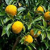 Yuzu - Citrus junos - Citron japonais