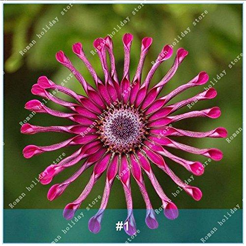 Galleria fotografica ZLKING 100 Pz Osteospermum Bonsai Seeds alto tasso di germinazione del Capo Daisy facile da coltivare South African Daisy semi della pianta del fiore 1