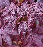 Portal Cool Samen Paket: 10 Samen: eum Red Japanier -Samen er Baum tief appt Rot Blatt