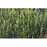 Portal Cool Seeds Package: Sideritis Arborescens 100+ Seeds SpanishCalaminta Real Zahareña Basta