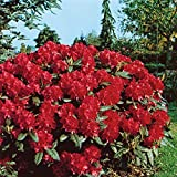 Rhododendron, 2 Liter rot/rosa, 1 Pflanze
