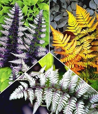 BALDUR-Garten Winterharte Japanische Schmuck-Farn-Kollektion, 3 Pflanzen Dryopteris, Athyrium von Baldur-Garten bei Du und dein Garten