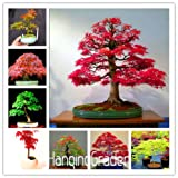 Hot Selling 50pcs American Maple seeds T...