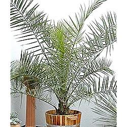 Samen kanarische Dattelpalme (Phoenix canariensis) Perennial Raum Pflanze