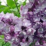 Syringa vulgaris var.general perching - Lilo - Maceta de 5Litros