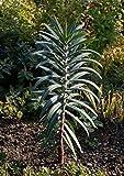 Kreuzblättrige Wolfsmilch Euphorbia lathyris 20 Samen