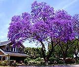 11.11 Großer Verkauf! 50 / bag schnell wachsenden lila Paulownia Samen seltener Baumsamen für zu Hause pflanzen Dekoration