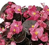 Eisbegonie Begonia semperflorens dunkellaubig rose Pflanze im 9er Topf 12 Pflanzen im Set