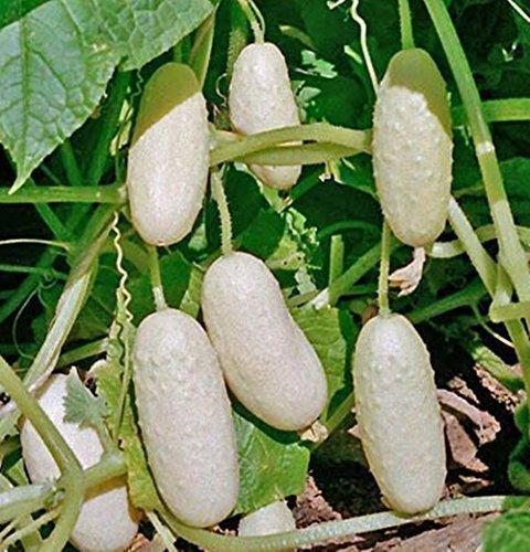 leading-star-cucumber-bilyy-anhel-white-angel-organic-vegetable-mighty-seed