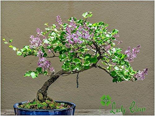 50 Violet Lilas Graines Fleur Syzygium Aromaticum jardin usine de décoration de Free Shiping