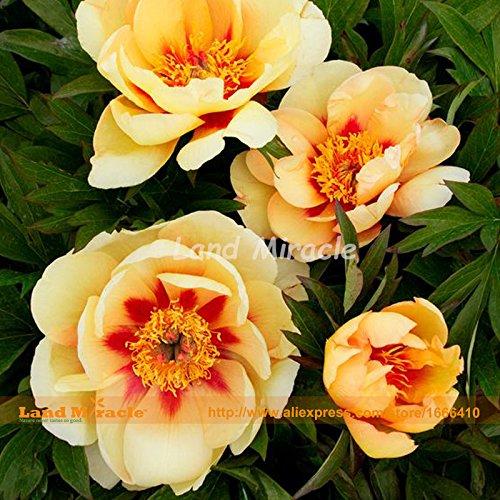 Heirloom « Luoyang » Graines Pivoine chinoise jaune, 10 graines, arbustes bonsaï fleurs pivoines arbre jardin parfumé graines terrain Miracle