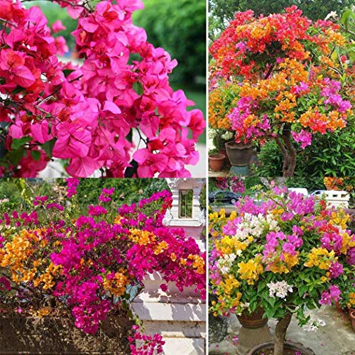 ncient 10/20/50 semi sementi di fiori di bouganville semi fiori rari profumati piante per orto giardino balcone interni ed esterni