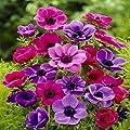 Gartenanemone De Caen von Meingartenshop bei Du und dein Garten