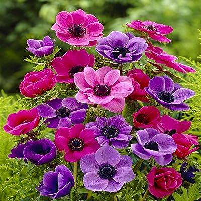Gartenanemone De Caen von Meingartenshop - Du und dein Garten