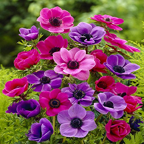 anemone-coronaria-de-caen-20-flower-bulbs