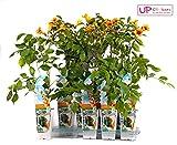 Trompetenblume - Campsis - blühende Kletterpflanze (Campsis Summer Jazz Indian Summer)