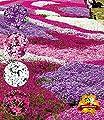 """BALDUR-Garten Phlox-Mix """"Flowers of the Sea"""",4 Pflanzen von Baldur-Garten - Du und dein Garten"""