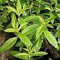 lichtnelke - Zitronen-Verbene Zitronenstrauch Aloysia Tb9 von Lichtnelke Pflanzenversand auf Du und dein Garten