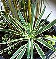 Future Exotics Yucca flaccida Variegata Rhizome Gartenyucca Y2 winterhart von Future Exotics - Du und dein Garten