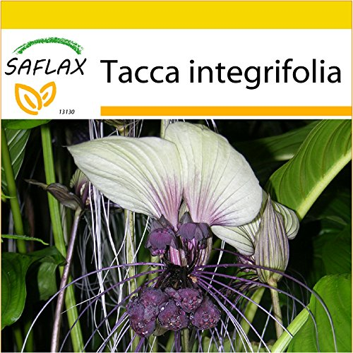 SAFLAX - Anzucht Set - Weiße Fledermausblume - 10 Samen - Tacca integrifolia