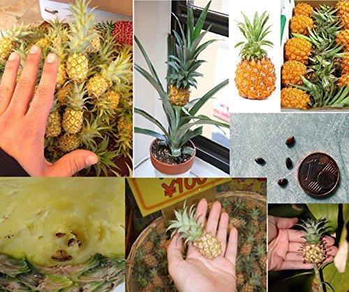 10x Mini Ananas kleinste Ananas der Welt Garten Zimmerpflanze frische Samen Obst süß #387 - Mini-samen